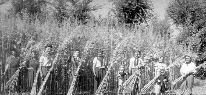 Come coltivare la Canapa