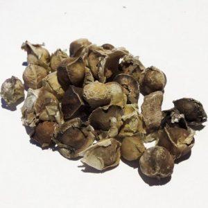 Semi di Moringa Oleifera-Albero Miracoloso-100pz