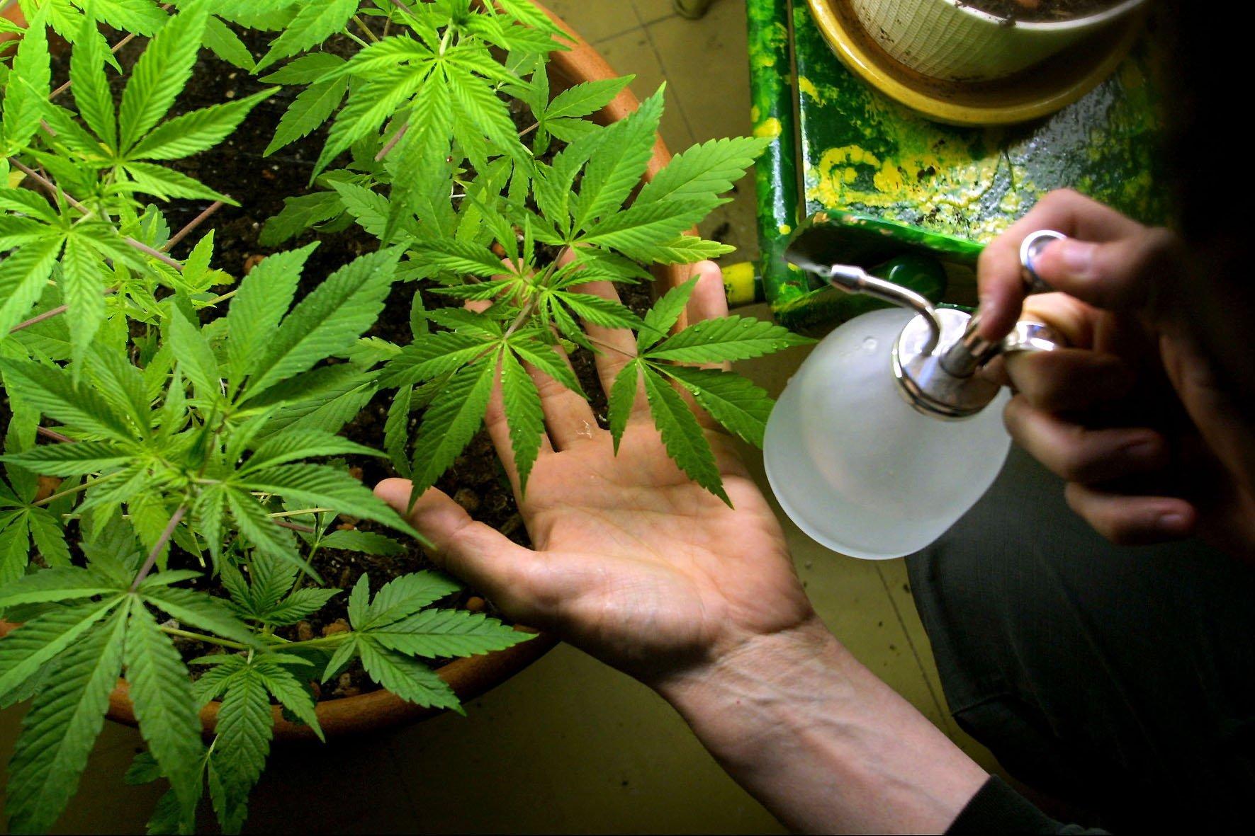 Come coltivare la Cannabis in casa – I consigli