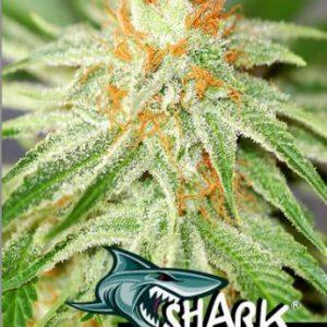 Shark Haze 10 Semi