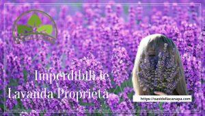 i fiori di Lavanda contengono oli essenziali che sono molto apprezzati per la cura del corpo e della pelle