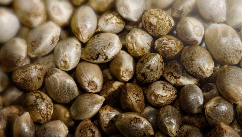 Come conservare i semi di Cannabis – I dettagli