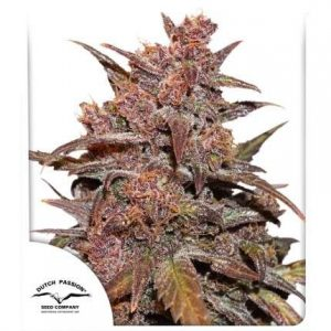 CBD Auto Blackberry Kush® 3 Semi